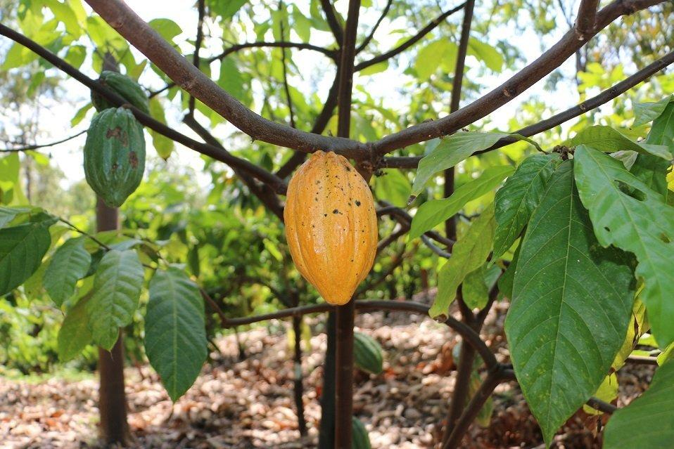 criollo cacao